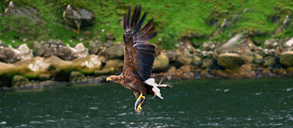 An Irish White Tailed Sea eagle catching fish in Killarney. (c) Valerie O Sullivan