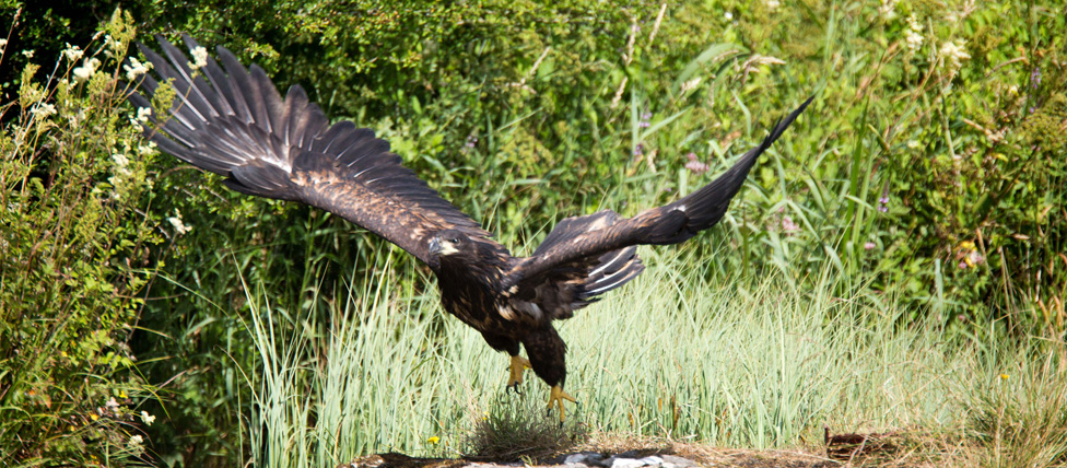 2013 Juvenile White-tailed Sea eagle taking off. (c) Arthur Ellis