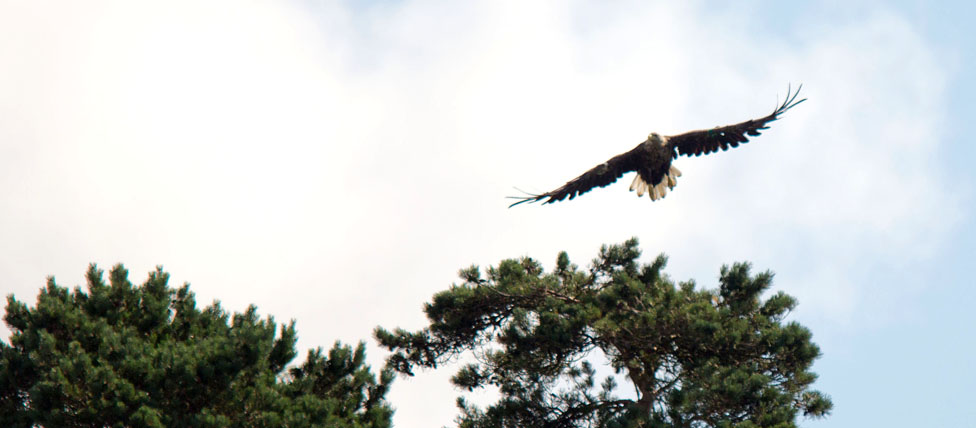 Male Eagle flying over Bushy Island. (c) Arthur Ellis