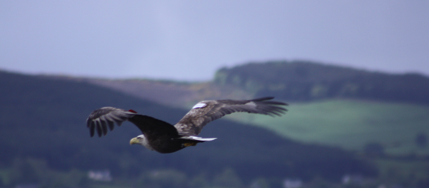 Male Eagle flying over Lough Derg.