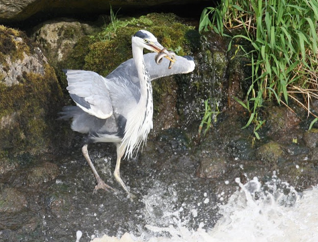 Grey Heron catching an Eel © John N Murphy